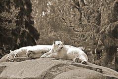 The polar bear Royalty Free Stock Photo