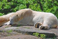 The polar bear Stock Photography