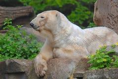 The polar bear Stock Images