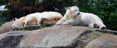 The polar bear Ursus maritimus. Is a bear native largely within the Arctic Circle encompassing the Arctic Ocean, its surrounding seas and surrounding land stock image