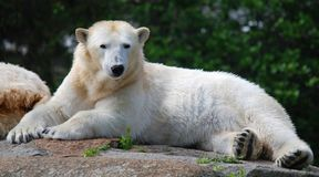 The polar bear Ursus maritimus. Is a bear native largely within the Arctic Circle encompassing the Arctic Ocean, its surrounding seas and surrounding land stock photos