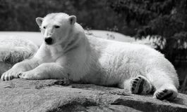 The polar bear Ursus maritimus. Is a bear native largely within the Arctic Circle encompassing the Arctic Ocean, its surrounding seas and surrounding land royalty free stock photography