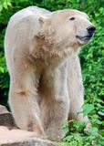 The polar bear Ursus maritimus. Is a bear native largely within the Arctic Circle encompassing the Arctic Ocean, its surrounding seas and surrounding land royalty free stock image