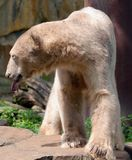 The polar bear Ursus maritimus. Is a bear native largely within the Arctic Circle encompassing the Arctic Ocean, its surrounding seas and surrounding land royalty free stock photo