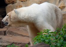 The polar bear Ursus maritimus. Is a bear native largely within the Arctic Circle encompassing the Arctic Ocean, its surrounding seas and surrounding land stock photography