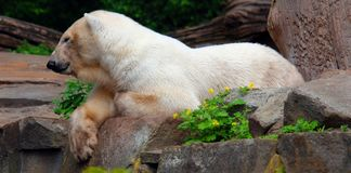 The polar bear Ursus maritimus. Is a bear native largely within the Arctic Circle encompassing the Arctic Ocean, its surrounding seas and surrounding land royalty free stock images
