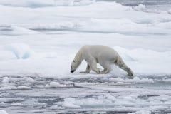 Wet polar bear going on pack ice in Arctic sea. Polar bear Ursus maritimus on the pack ice north of Spitsbergen Island, Svalbard, Norway, Scandinavia, Europe stock photo