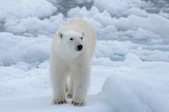Wild polar bear on pack ice in Arctic sea close up stock images