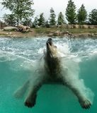 Polar bear Ursus maritimus playing. Jumping in water. Polar bears are excellent swimmers and often will swim for days. They may swim underwater for up to stock photo