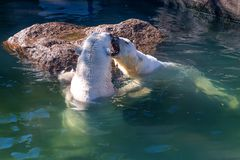 Polar bear or Ursus maritimus. Playing together in water stock photo