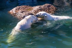 Polar bear or Ursus maritimus. Playing together in water royalty free stock images