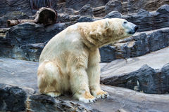 Polar bear Stock Photos