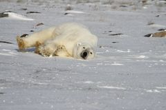 Polar Bear, Ursus Maritimus, rolling around the snow on a sunny day royalty free stock images