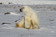 Polar Bear, Ursus Maritimus, sitting on snow and staring off into the distance stock image