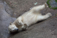 Polar bear Ursus maritimus. Six-month-old polar bear Ursus maritimus royalty free stock photography