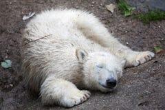 Polar bear Ursus maritimus. Six-month-old polar bear Ursus maritimus royalty free stock photos