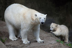 Polar bear Ursus maritimus. Stock Photos