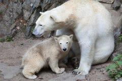 Polar bear Ursus maritimus. Six-month-old polar bear Ursus maritimus with its mother Stock Image