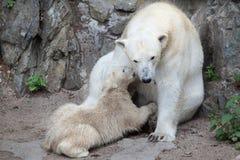 Polar bear Ursus maritimus. Royalty Free Stock Images