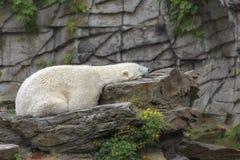 Polar bear, Ursus maritimus sleeps. The polar bear is a inhabitant of the Arctic. Polar bear Ursus maritimus sleeps. The polar bear is a typical inhabitant of stock photography