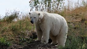 Polar bear, ursus maritimus on hill royalty free stock photo