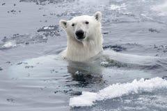 Polar bear Ursus maritimus swimming in Arctic sea. Close up royalty free stock images