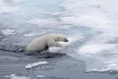 Polar bear Ursus maritimus swimming in Arctic sea close up stock photography