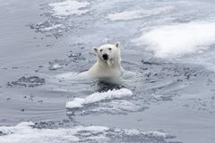 Polar bear Ursus maritimus swimming in Arctic sea. Close up royalty free stock photography
