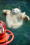 Polar bear (Ursus maritimus) swimming in the water Stock Photography