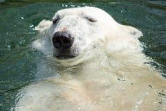 Polar bear (Ursus maritimus) swimming in the water Stock Images