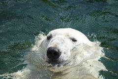 Polar bear (Ursus maritimus) swimming in the water Stock Photos