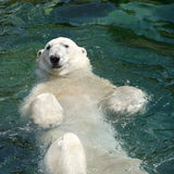 Polar bear (Ursus maritimus) swimming in the water Stock Photo