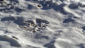 Polar bear (Ursus maritimus)  tracks or footprint Stock Photography