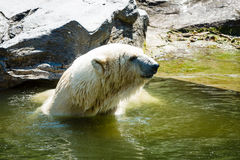 Polar bear. (Ursus maritimus) in the water Stock Photography