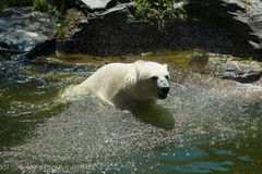 Polar bear. (Ursus maritimus) in the water Royalty Free Stock Photos