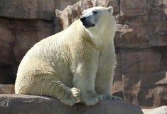 Polar bear Ursus maritimus. White polar bear Ursus maritimus on the rock stock photo