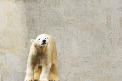 Polar bear. Ursus maritimus. Wild arctic animal Royalty Free Stock Images