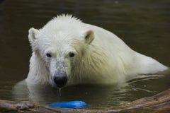 Polar bear Ursus maritimus. Wildlife animal stock photo