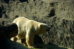 Polar bear ursus maritimus. Polar bear in zoo, ursus maritimus Stock Photo