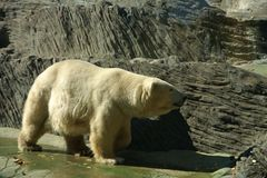 Polar bear ursus maritimus. Polar bear in zoo, ursus maritimus Stock Images