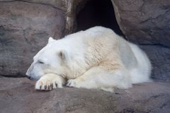 Polar bear Ursus Thalarctos maritimus in the Moscow Zoo. Date of snapshot: 09th june 2018 stock photography