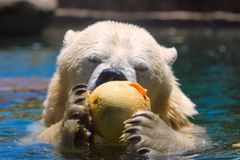 Captive polar bear enjoys a cantaloupe while swimming in a zoo in san diego southern california USA. Polar bear uses claws and teeth to eat a fruit while he stock images