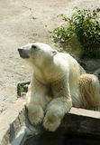 Polar bear on vacation Royalty Free Stock Photos