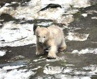 Polar bear. View of a young polar bear Royalty Free Stock Photos