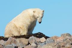 Polar Bear waking up on a grassy knoll Royalty Free Stock Photos