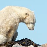 Polar Bear waking up. Lazy Canadian Polar Bear wallowing, stretching and sleeping on some rocks next to the arctic tundra of the Hudson Bay near Churchill royalty free stock images