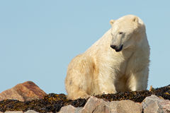 Polar Bear waking up Royalty Free Stock Photos