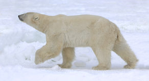 Polar bear walk. Stock Photo