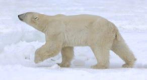 Polar bear walk. A polar bear going on snow stock photo
