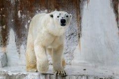 Polar Bear. Walk around on snow rock Stock Photos